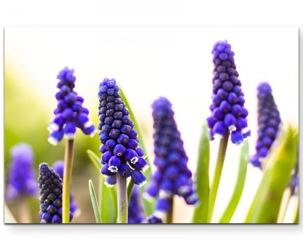 Traubenhyazinthe – Lila Blüten - Leinwandbild