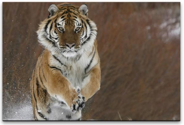 Tiger im Schnee Wandbild in verschiedenen Größen