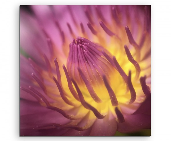 Naturfotografie – Pinke Lotusblüte mit Pollen auf Leinwand