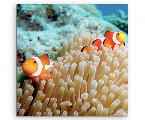 Naturfotografie – Clownfische im Korallenriff auf Leinwand