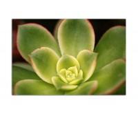120x80cm Fettpflanze hawaiianisch grün makro