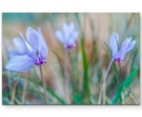 Fotografie – Wiese mit Alpenveilchen - Leinwandbild