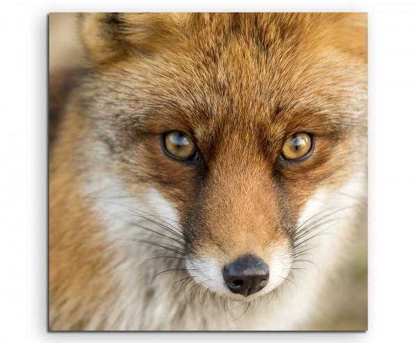 Tierfotografie – Roter europäischer Fuchs auf Leinwand