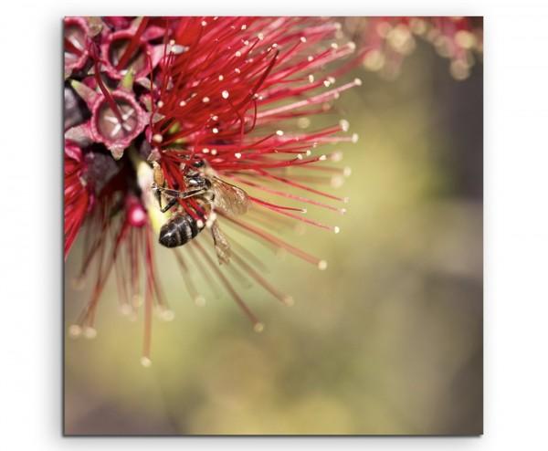 Naturfotografie – Roter Zylinderputzer mit Honigbiene auf Leinwand