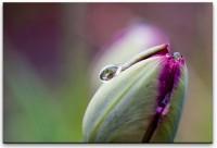 Tulpe mit Regentropfen Wandbild in verschiedenen Größen