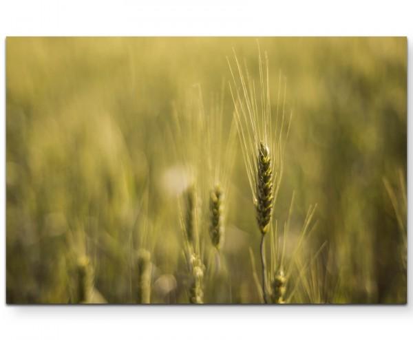 Weizenfeld – Wiese - Leinwandbild
