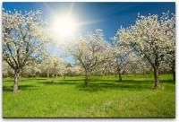 Wiese mit Apfelbäumen Wandbild in verschiedenen Größen