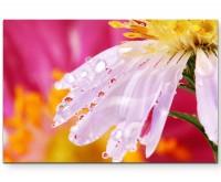 Weiße Blütenblätter mit Regentropfen + pinker Hintergrund - Leinwandbild