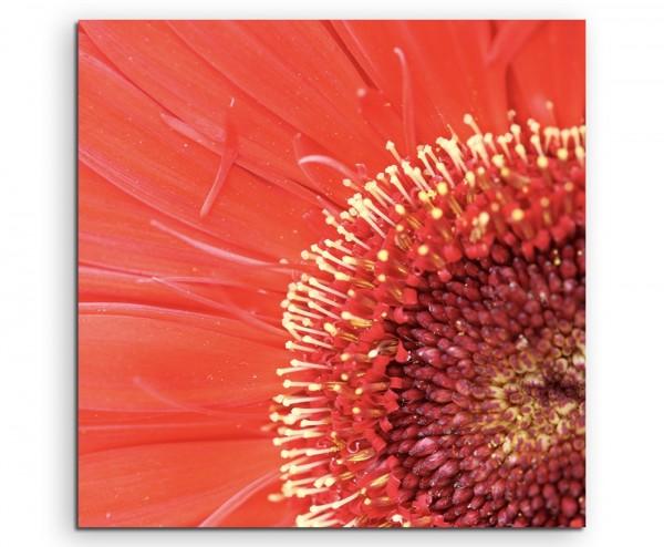 Naturfotografie – Nahaufnahme einer roten Gerbera Pflanze auf Leinwand