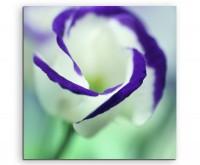 Naturfotografie – Weiße Blüte mit lila Rand auf Leinwand exklusives Wandbild moderne Fotografie für