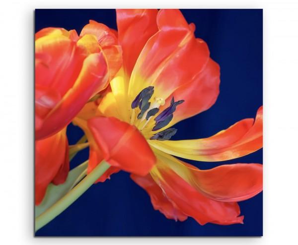 Naturfotografie – Rote Tulpe mit blauem Hintergrund auf Leinwand