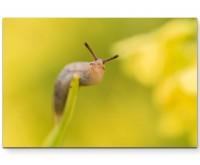 Kleine Schnecke auf einem Grashalm - Leinwandbild